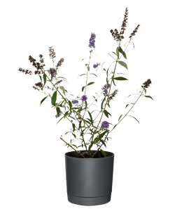 BLACK KNIGHT  A fast growing shrub with masses of fragrant deep purple flowers.