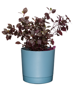 LITTLE RUBY  The perfect mounding ground cover with deep burgundy foliage.