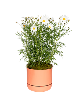 MARGUERITE DAISY  Easy to grow and care for, these add a joyful flower to any garden.