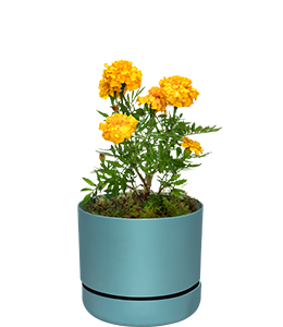 MARIGOLD  A great first plant for children, easy to grow in pots or in ground.