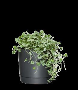 DICHONDRA SILVER FALLS  A wonderful trailing plant with beautiful silver foliage.