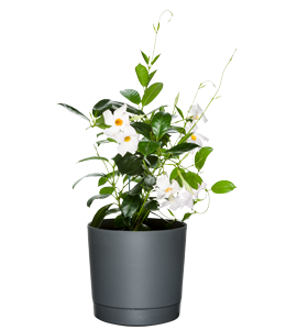 DIPLADENIA 'RIO WHITE'  Stunning white blooms paired with lush, glossy foliage.