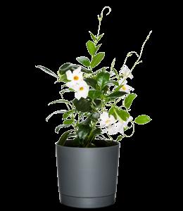 DIPLADENIA 'RIO WHITE'  Stunning white blooms paired with lush, glossy foliage.