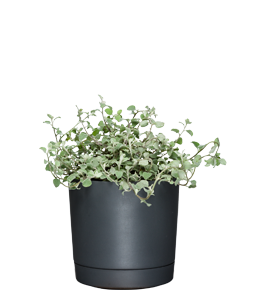 LICORICE PLANT  This plant has soft, densely-felted foliage and a licorice fragrance.