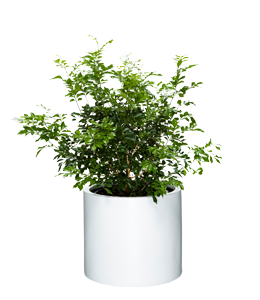 MURRAYA  A shrub with twisting brances, dark glossy leaves and fragrant flowers.
