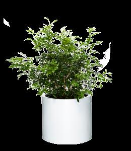 MURRAYA  A shrub with twisting brances, dark glossy leaves and fragrant flowers.