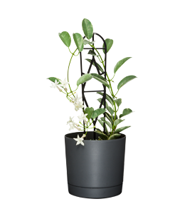 STEPHANOTIS  A wedding bouquet favourite with waxy, tubular, usually white flowers.