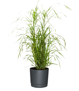 ZEBRA GRASS  With long, striped arching leaves, there are few showier garden plants.