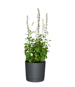 SAGE  With soft grey-green foliage, it's great both in pots or the garden.