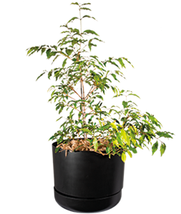 ANISEED MYRTLE  A handsome tall plant, with glossy foliage giving off a liquorice scent.