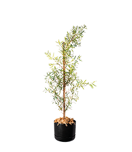 AUSTRALIAN PLUM PINE  Loves some moisture for slow and steady growth.