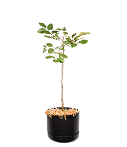 BURDEKIN PLUM  A beautiful plant with large glossy leaves with deep purple fruits.
