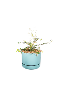 CURRY MYRTLE  Get that curry aroma from the foliage of this flowering plant.