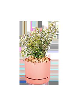 CINNAMON MYRTLE  Tough, frost-tolerant shrub that thrives off regular care.