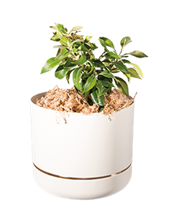 LEMON MYRTLE  This shrub steals the show with its soft green leaves and cream florals.