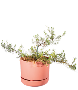 RUBY SALTBUSH  A hairy and attractive shrub that can withstand extreme temperatures.