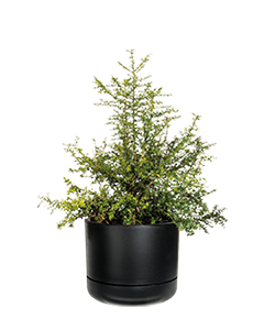 FINGER LIME  A plant fantastic for your balcony terrace and serves for lime caviar!