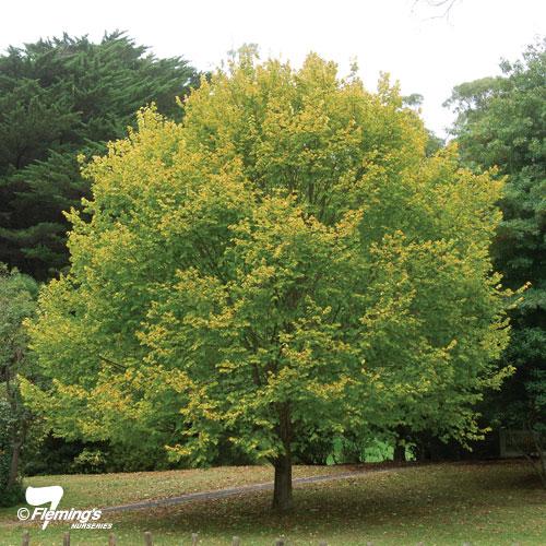 Ulmus glabra 'Lutescens' (Golden)