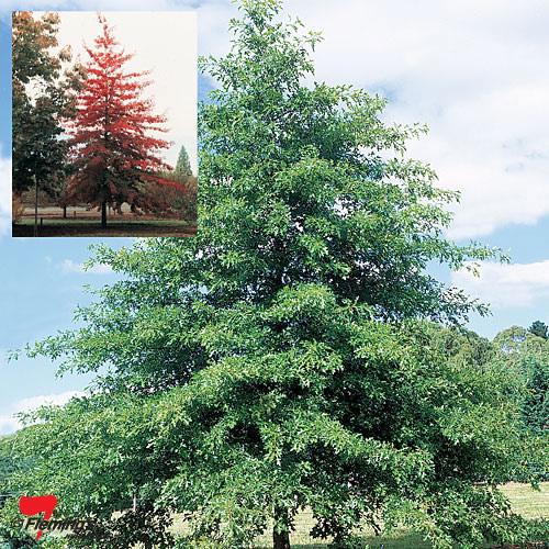 Quercus palustris (Pin Oak)