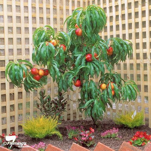 'Nectazee' Nectarine - Trixzie® Miniature Fruit Tree