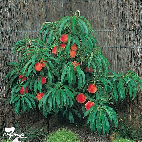 'Pixzee' Peach - Trixzie® Miniature Fruit Tree