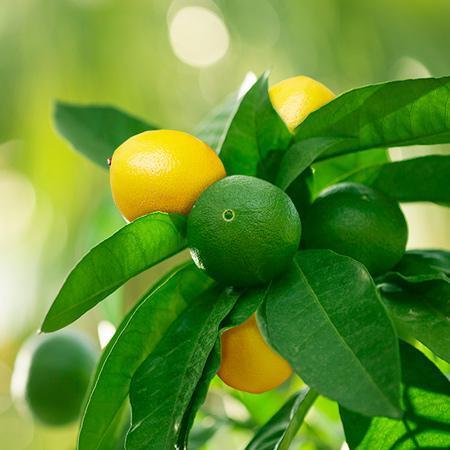 lemon-lime-tree_450_grande.jpg