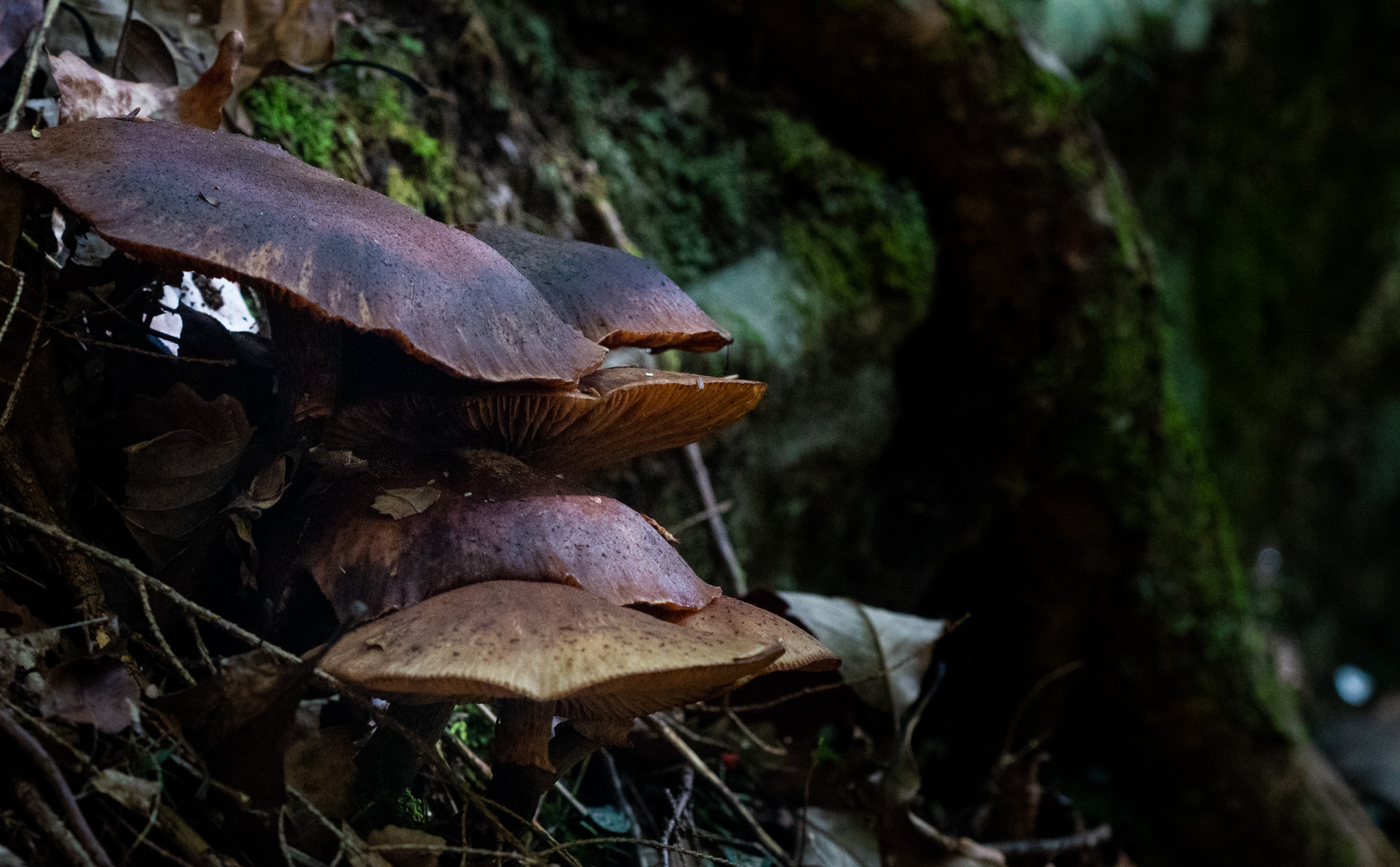Really nice browns on this cluster of mushrooms along the side of the trail.