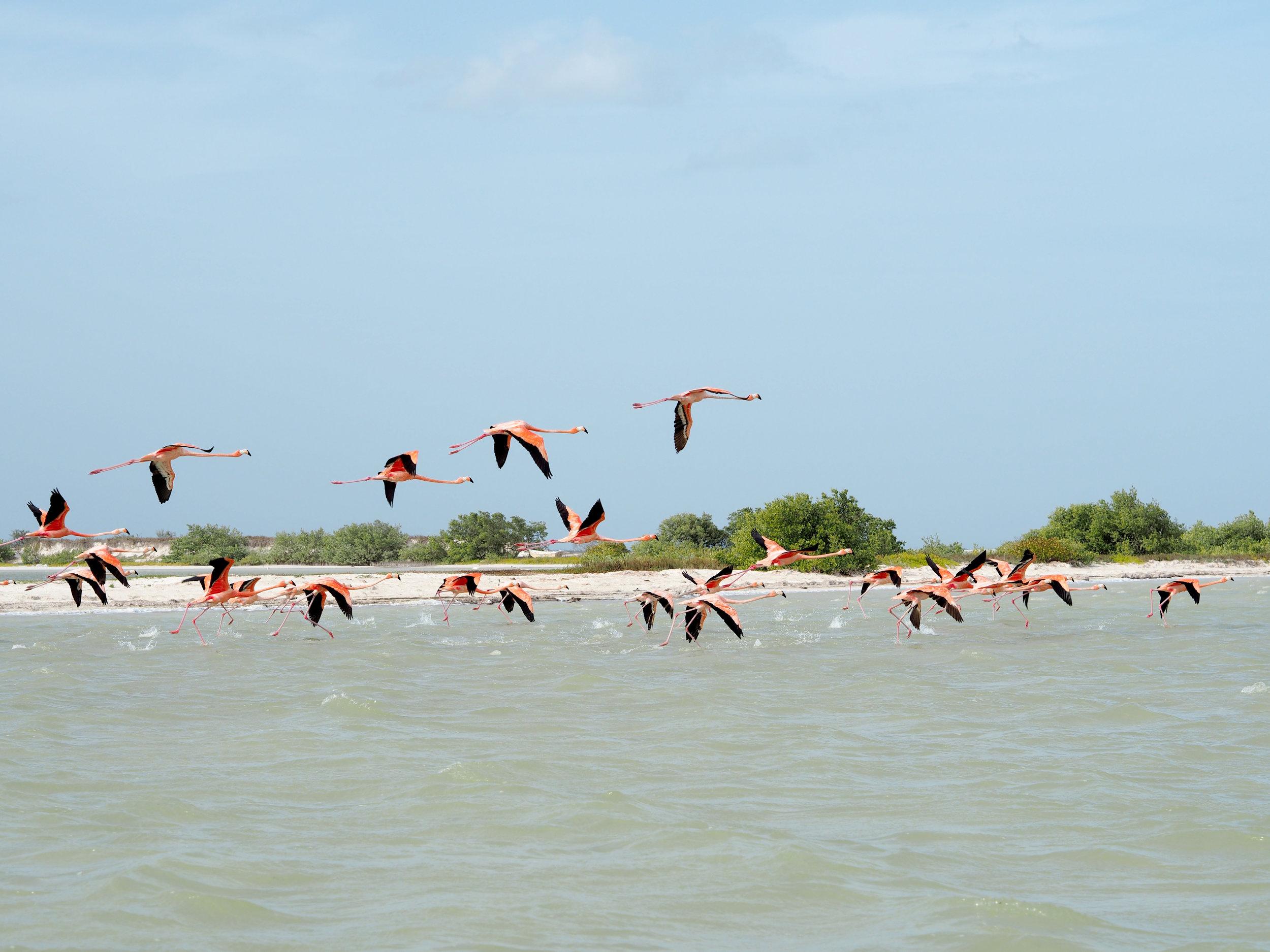 Flamingos in Los Lagartos