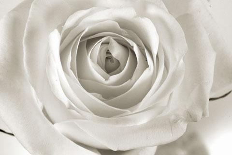 Rose3Detail.jpg