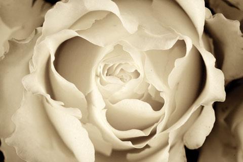 RoseDetail (1).jpg