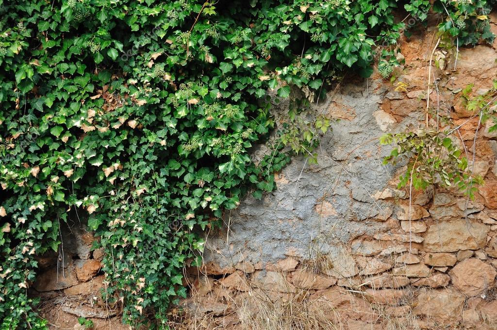 HERA - A Hera, planta que recobre tantos muros por aí, também apresenta oxalato de cálcio em suas folhas.[fonte da imagem]