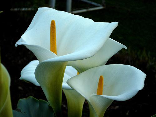 COPO DE LEITE - Outra planta muito cultivada em vasos e usada na decoração de interiores,por suas lindas e delicadas flores brancas.No entanto, suas folhas também contém oxalato de cálcio, o que a torna uma planta tóxica.[fonte da imagem]