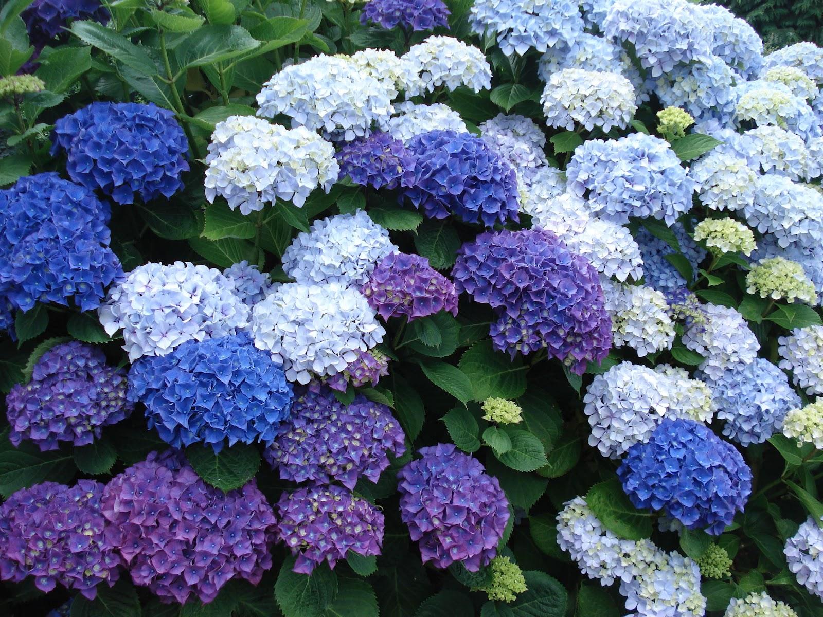 HORTÊNSIAS - A Hortênsia é amplamente cultivada por seu belo efeito ornamental, mas suas folhas e gomos contém glicosídeo cianogênico, uma substância tóxica que pode causar distúrbios gastrintestinais, neurológicos e respiratórios se ingerida.[fonte da imagem]