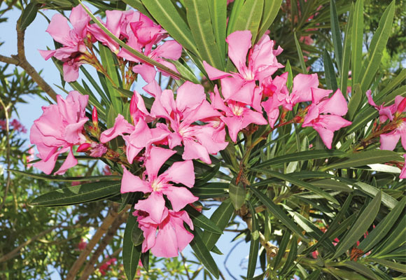 ESPIRRADEIRA - Muito presente em calçadas, a Espirradeira é amplamente cultivada por sua beleza.No entanto, pode causar crises de asma e rinite em pessoas alérgicas e sua ingestão pode desencadear distúrbios cardíacos.[fonte da imagem]