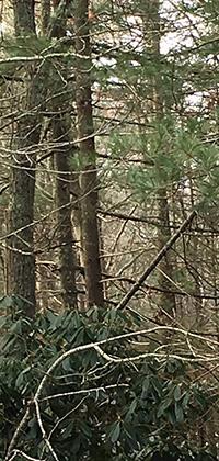 _Pine tree (1).jpg