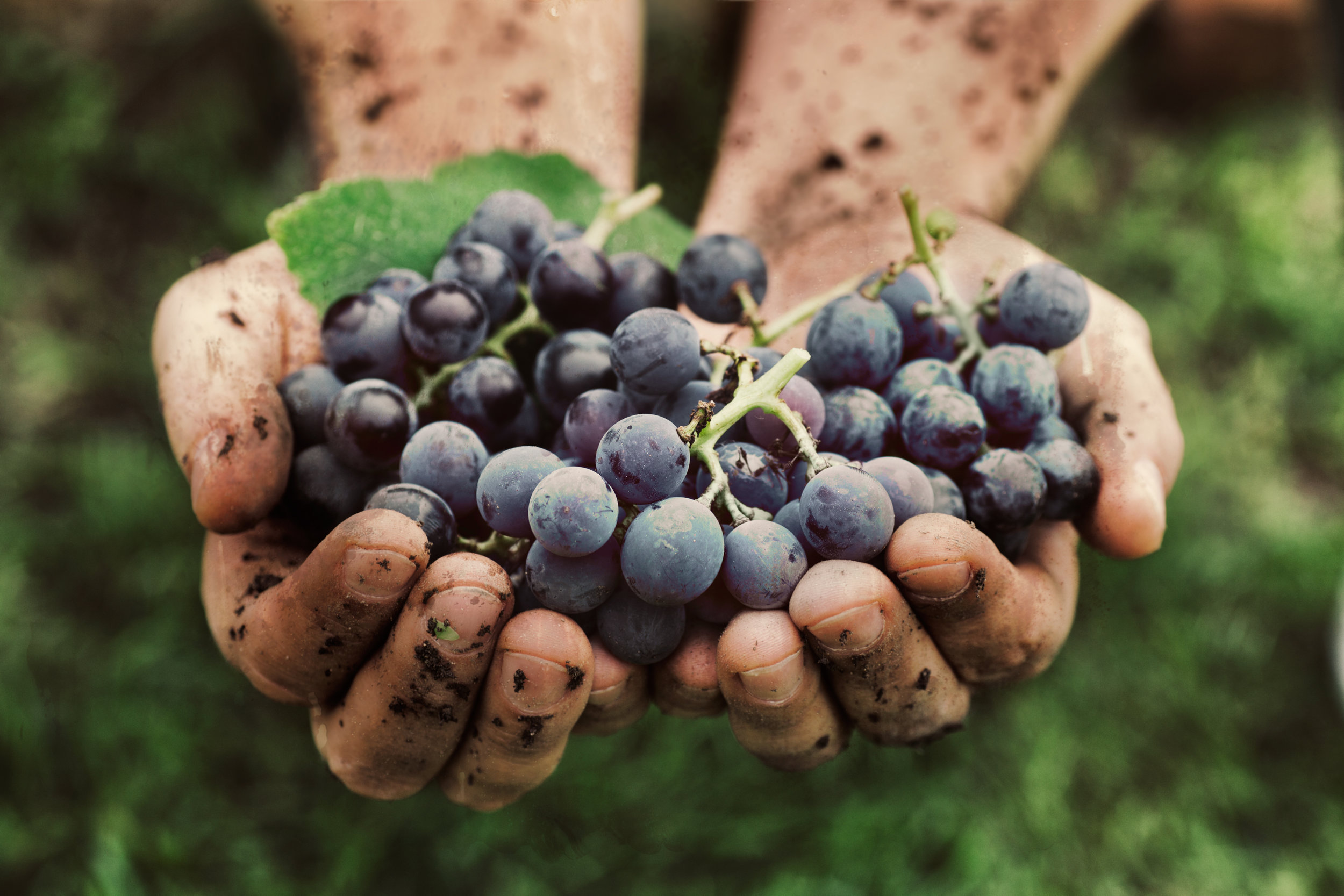 freshly harvested grapes held in bare hands
