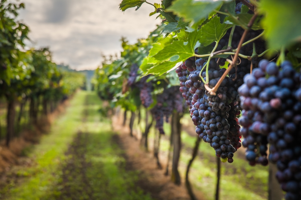 vineyard with grapes on the vine.jpg