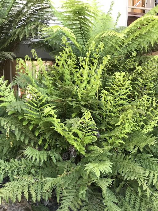 Woodwardia fimbriata, Giant Chain Fern