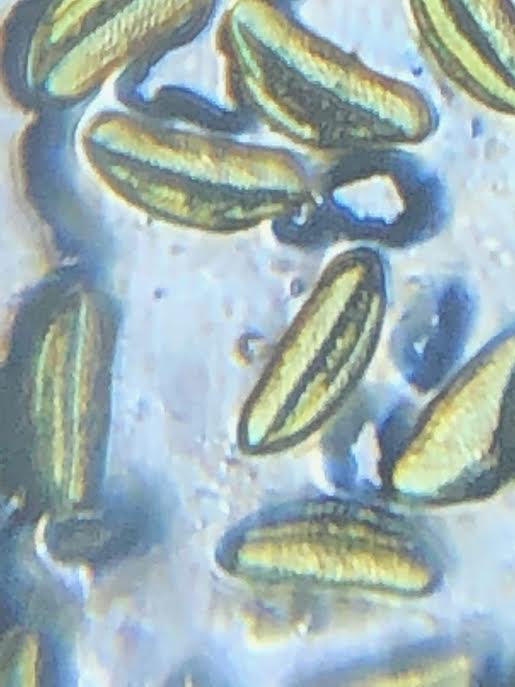 Pollen at ~1400X