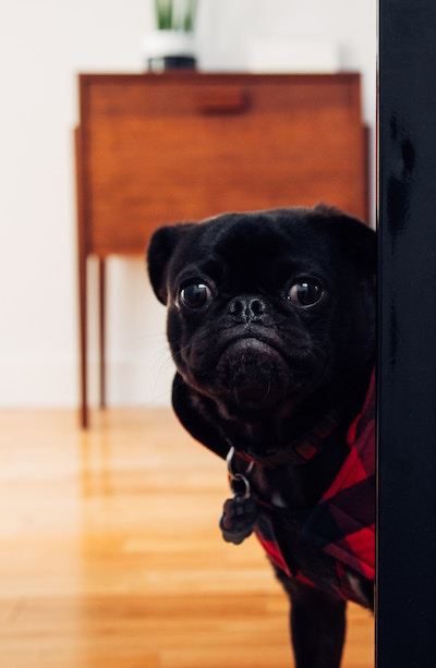 pug looking out a door.jpg