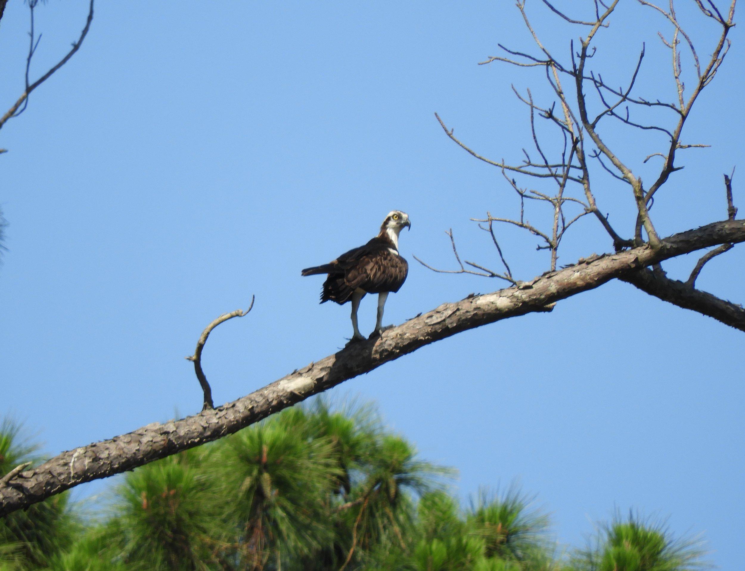 05292019_osprey 2.jpg