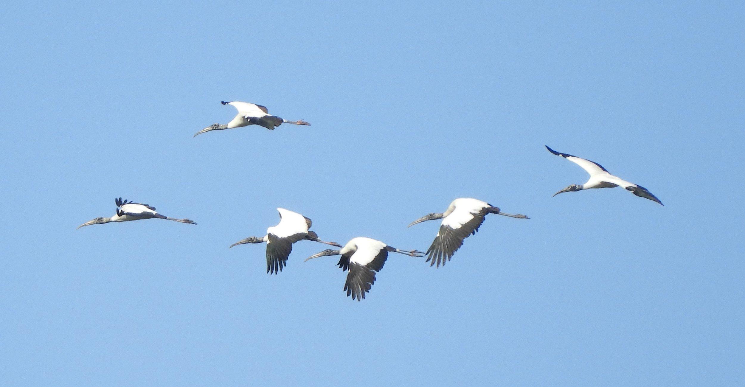04112019_wood storks 2.jpg