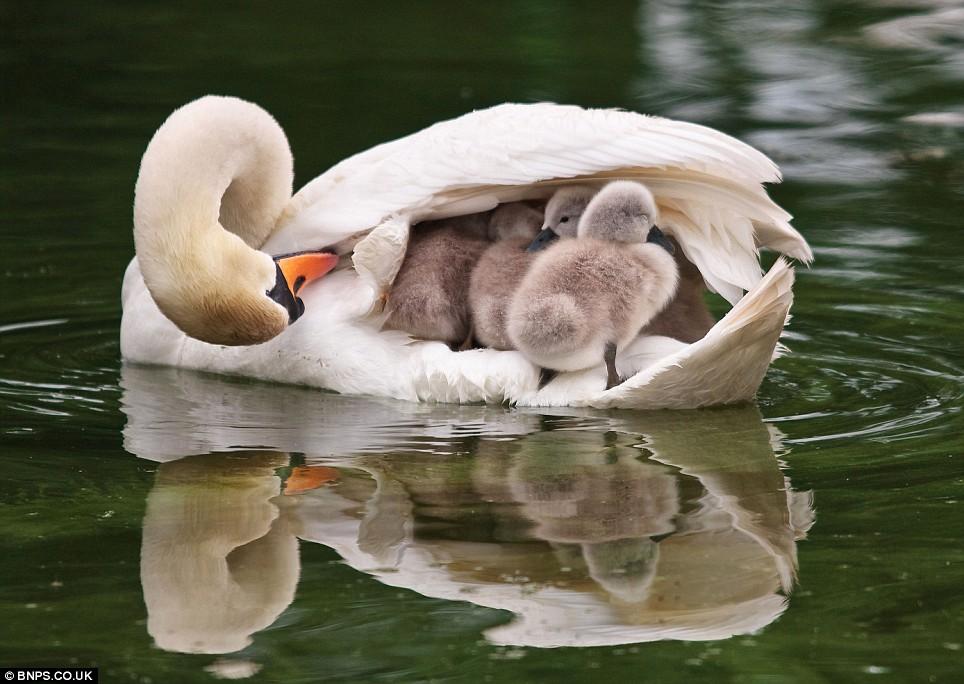 swan with babies.jpg