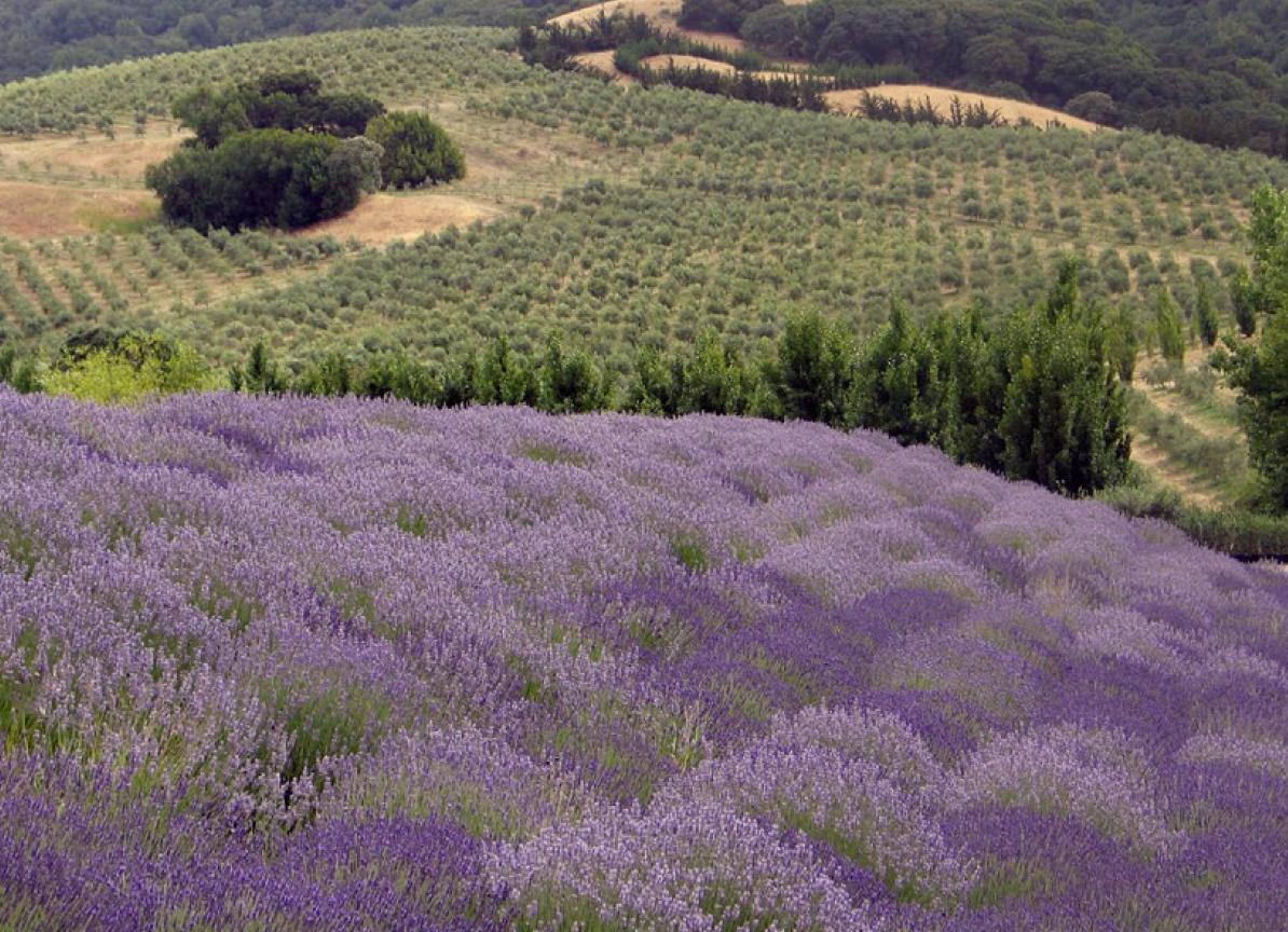80 Acres Lavender Fields