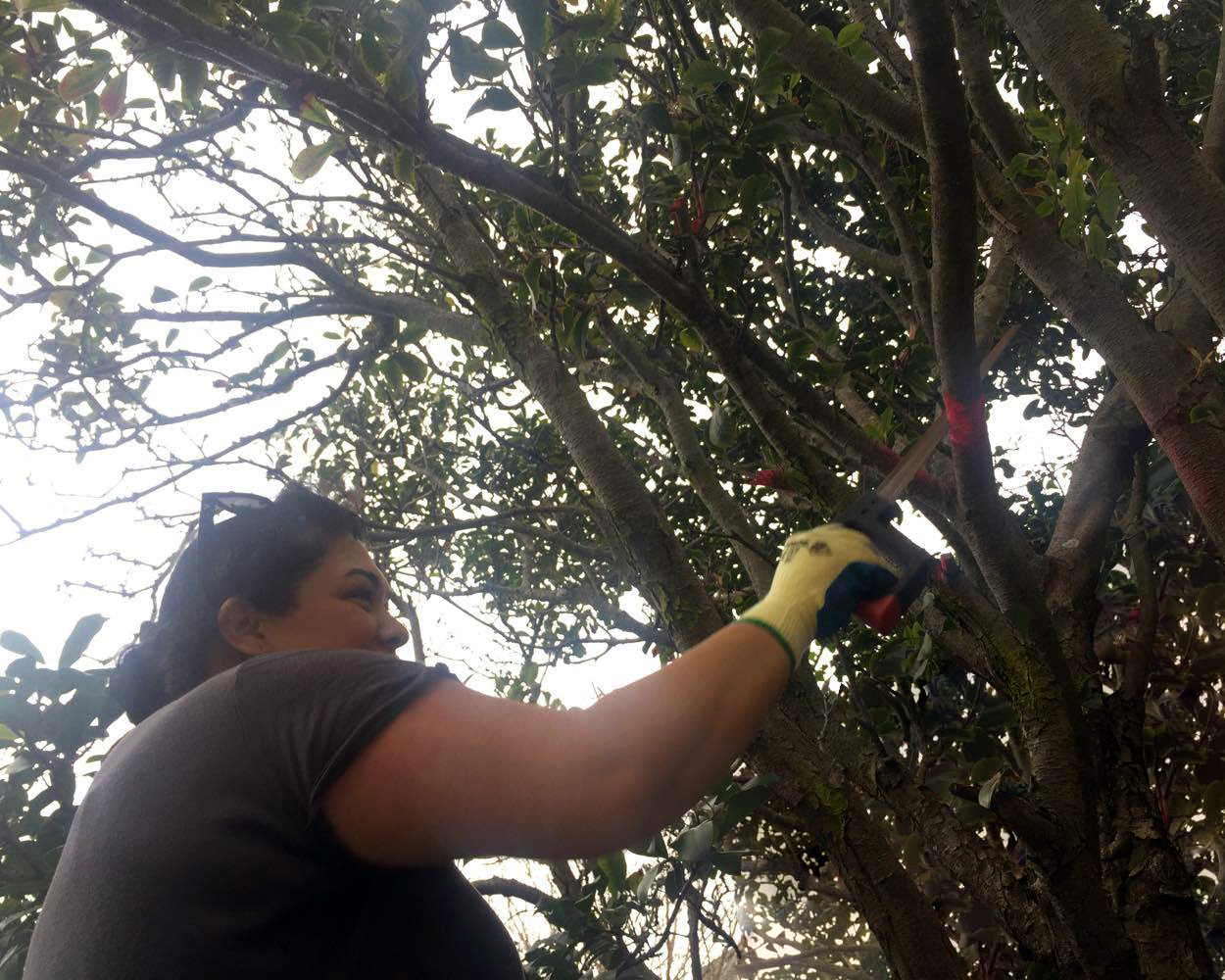 Amber cutting tree.jpg