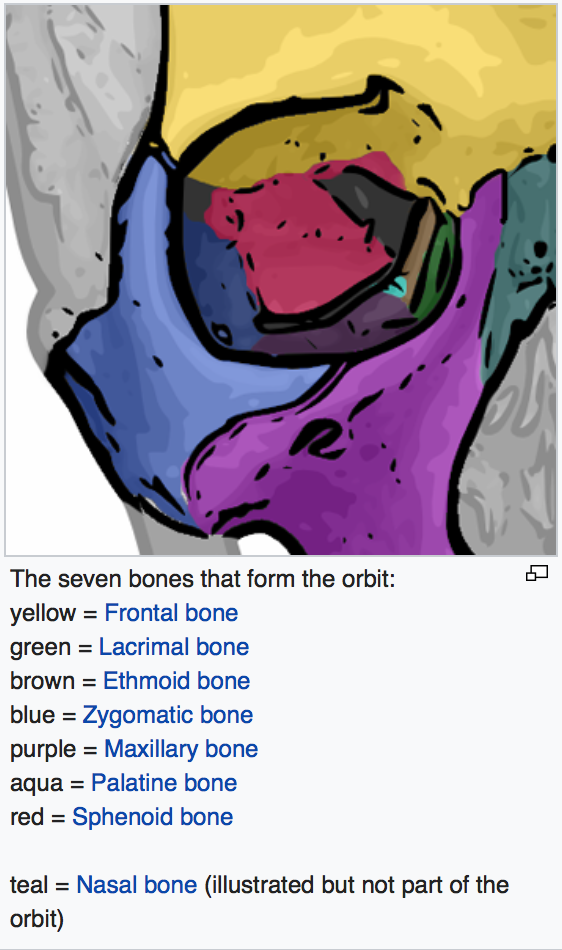 The bones of the orbit (eye socket). Image courtesy of wikipedia.