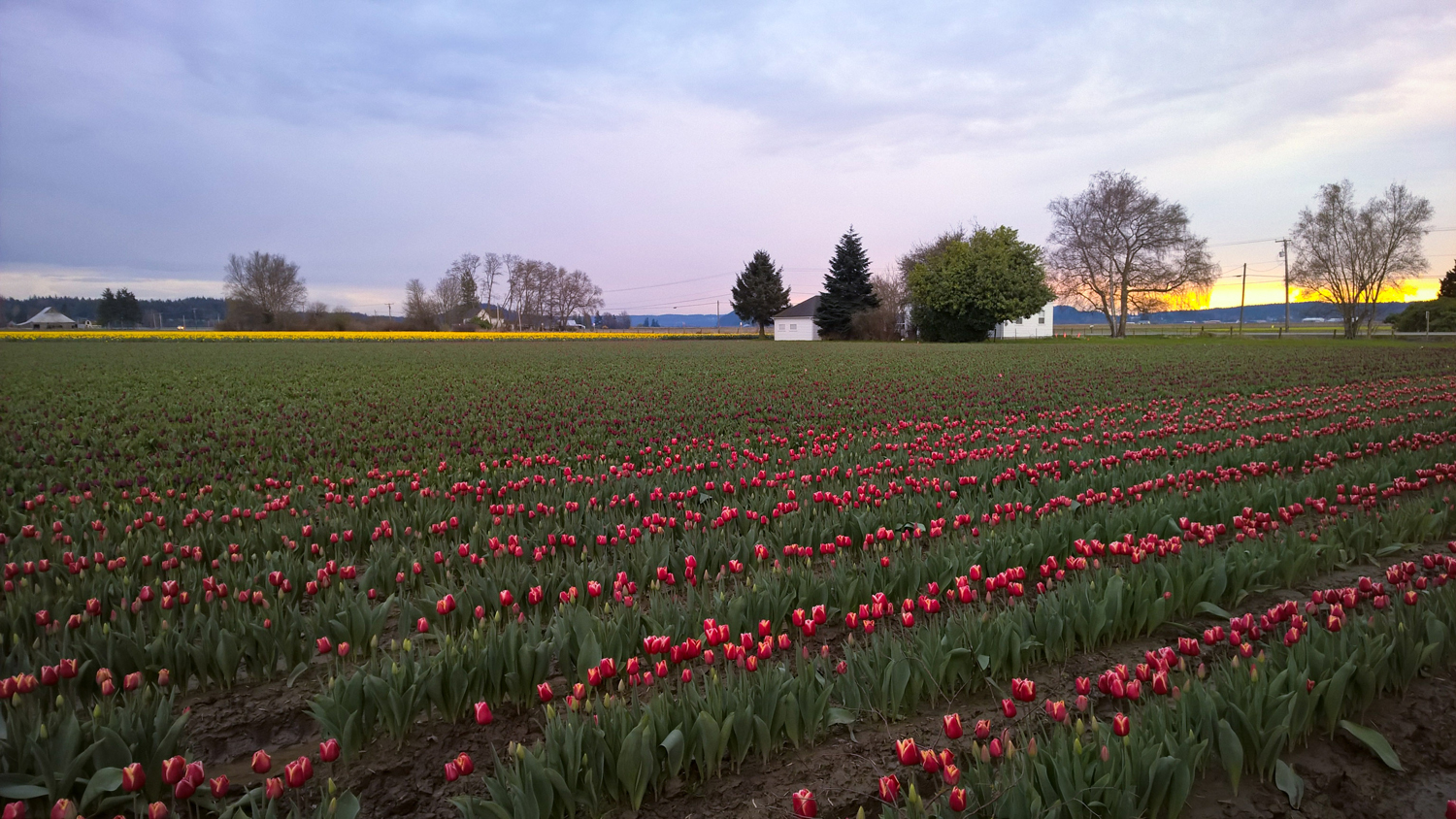 The Calm of the Skagit Valley Tulip Fields | OMventure.com