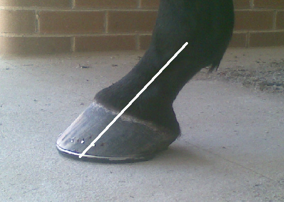 (Fig.2) correct hoof-pastern axis