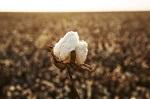 SUPIMA Cotton: The Blue Label