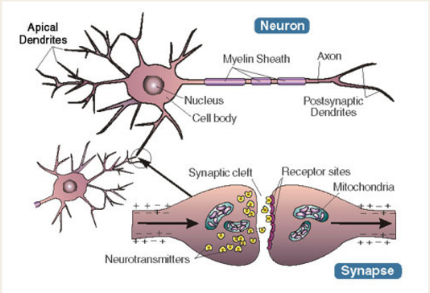 neuron: our brains contain neurons or nerve cells that act as conduits to  information, both incoming and outgoing